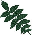 Butternut feuilles d'arbre, le noyer cendré Arbre Leaf Pattern