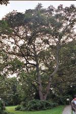 درخت Butternut