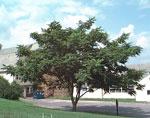 درخت Butternut عکس