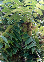 Butternut Tree Fruit, Butternut Nuts Tree