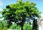 Butternut Pohon