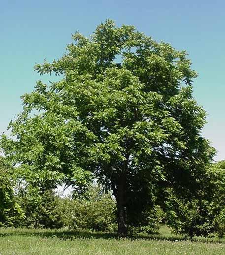 http://www.tree-pictures.com/butternuttree3.jpg
