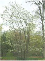 gambar pokok Silverbell