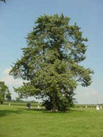 Cedar Tree Picture, Photo of Mature Cedar Tree