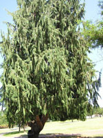 Cedar Tree Picture, Image of Large Cedar Tree