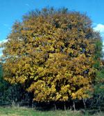 الدردار الصورة شجرة
