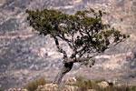 cedar tree picture