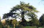 Big Cedar Tree Pic, Mature Solo Cedar Tree Image