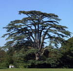 Large Cedar Tree Pic, Mature Old Cedar Tree Image