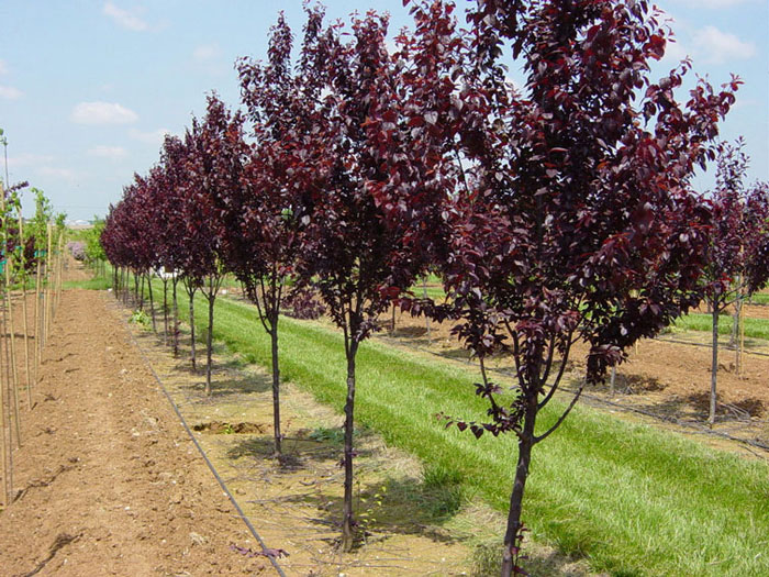 Plum Tree: Pictures, Images, Photos, Facts on Plums