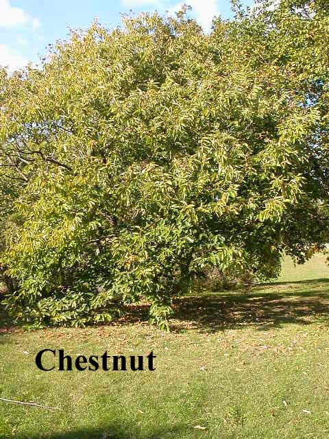 Chestnut Tree Pictures Facts on Chestnut Trees