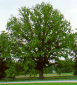 chestnut tree picture