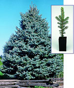 Blue Spruce, Colorado Spruce Pohon