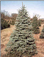 Mavi Ladin, Colorado Spruce Tree