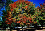 Ash Tree, Picture of Ash Tree Changing Colors in the Fall