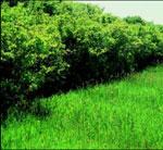lilás imagem da árvore