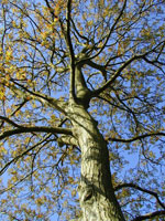 Walnut Tree Foto, Common Walnut Tree