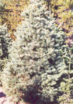 fir tree picture