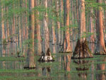 Cypress, Swamp Cypress Trees