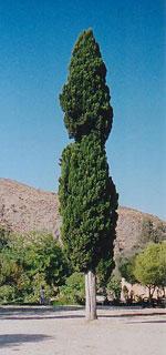 Chypre, Meditteranean Chypre Arbre