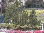 Selvi Ağaçları Resmi