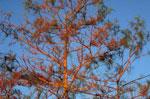 Gambar Cypress Tree; Cabang pohon Cypress