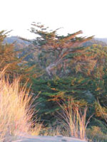 Itali Cypress Tree Gambar