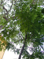 Cypress Tree Foliage Gambar
