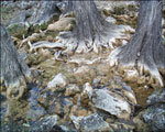 Cypress Tree Roots Bild