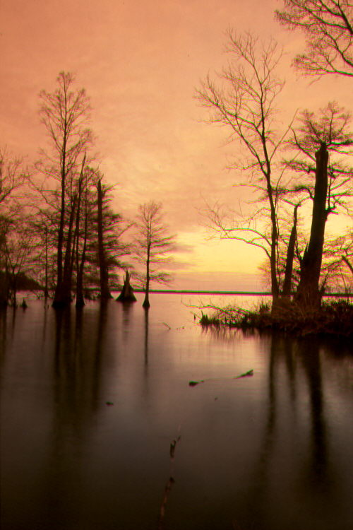 Cypress Tree Pictures