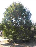 gambar pokok redwood