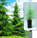 Deodara Cedar Tree Pic, Cedar Trees & Sapling Cedar Tree Image