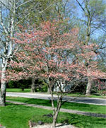 Drzewa Dereń, Zdjęcie Dereń różowe drzewo