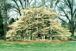 image de l'arbre de cornouiller