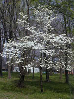 imagem da árvore de dogwood