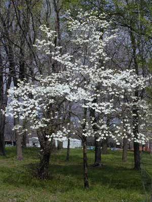 Dogwood tree pictures white flowering dogwood mightylinksfo