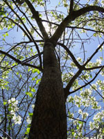 dereń treeobraz