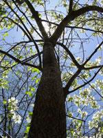 gambar pokok dogwood