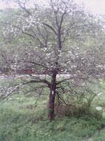 кизил дерево фото