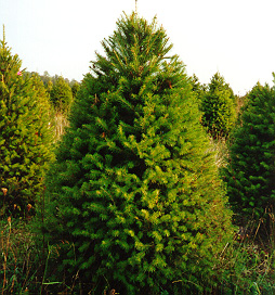 http://tree-pictures.com/douglas-fir-tree.jpg