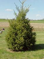 دوغلاس الصورة شجرة التنوب