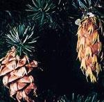 douglas gambar pokok cemara