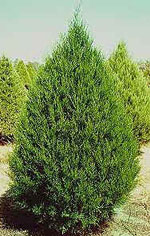 Cedar Tree, Timur Red Cedar