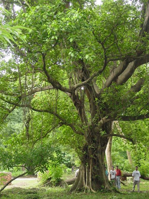Ebony Trees 99