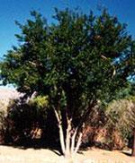 黒檀の木の絵