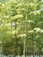 horse chestnut tree picture