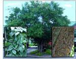 imagem da árvore de olmo