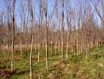 Elm Tree imagens de Elm As árvores que crescem em uma exploração agrícola de árvore