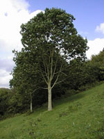 European Ash, Photo of European Ash Tree