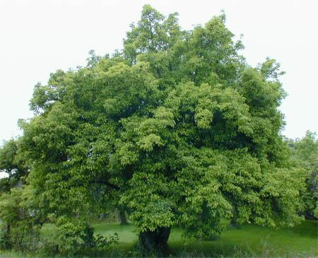 Apple Tree Pictures 1 Apple